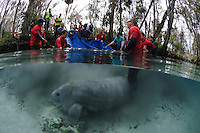 Florida manatee, Trichechus manatus latirostris, a subspecies of the West Indian manatee, endangered. February 13, 2012 there are releases of three rehabilitated manatees back into the wild. This is Krystal, the third of the releases. Krystal the manatee is timid at first but begins to swim away with tracking buoy attached. Personnel from United States Fish and Wildlife Services and four other parties conduct the successful release.  Horizontal orientation split image. Three Sisters Springs, Crystal River National Wildlife Refuge, Kings Bay, Crystal River, Citrus County, Florida USA.