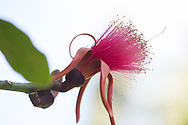 Pseudobombax ellipticum (Shaving-Brush Tree), a close-up of a pink flower in the Sunnyside Garden, St. George's, Grenada, West Indies, Caribbean