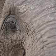 Close up of African elephant face. Londolozi Game Reserve, Sabi Sands Game Reserve. South Africa.