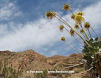 Panamint Daisy, Enceliopsis covillei. Wildrose Canyon, Death Valley National Park, California