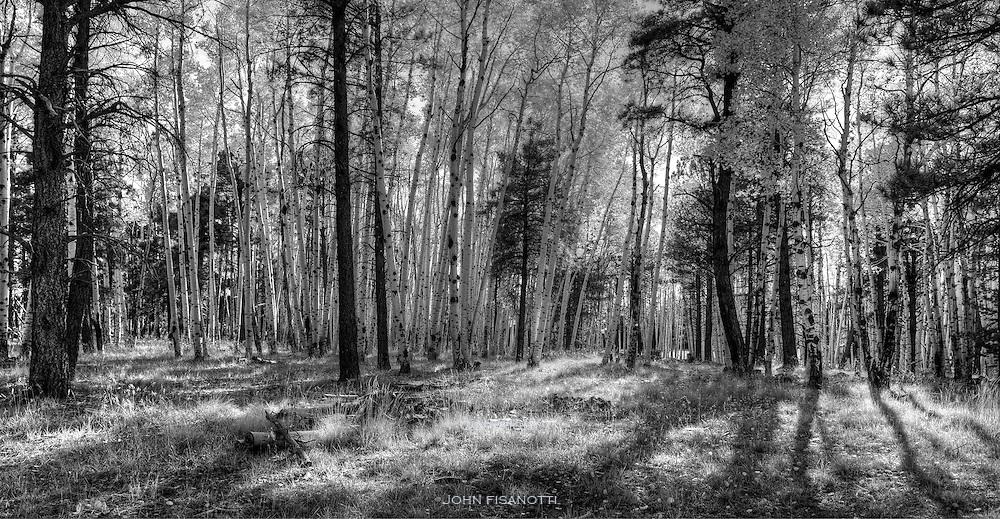 Aspen trees in the fall.