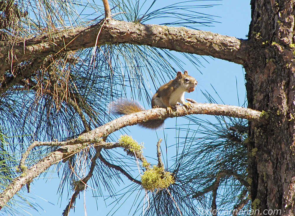 a Red Squirrel collecting Beaked Hazelnuts in Ponderosa Pine parkland