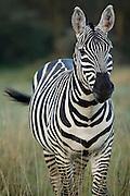 Zebra, Lake Nakuru National Park, Kenya