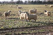 Sheep graze field of brassica stalks, Boyton, Suffolk, England