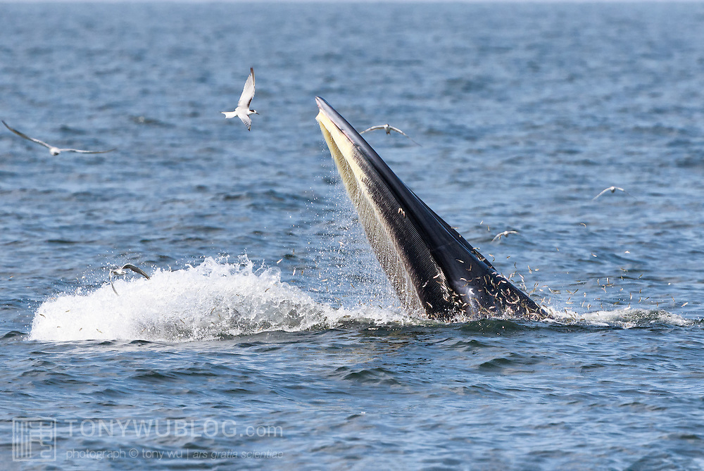 This is a male Eden's whale (Balaenoptera edeni edeni) known as Mesa, demonstrating the Drawbridge technique for feeding on anchovies. The whale raises his head above water to approximately eye level, then drops his lower jaw rapidly as if lowering a drawbridge. He then maintains a stationary, mouth-open position for an extended period of time, sometimes up to 30 seconds, during which time anchovies jump into his mouth. When he collects sufficient fish, he closes his mouth and reenters the water. Mesa is part of an isolated population of Eden's whales, which are a neritic member of the Bryde's whale complex, that live in the shallow waters of the Gulf of Thailand. It is likely that there are 50 or less in the population. Photo 6 in sequence of 7 photos illustrating beginning of Drawbridge technique.