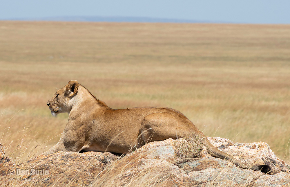 A female Lion, Panthera leo  melanochaita, in Serengeti National Park, Tanzania