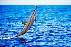 spinner dolphin, leaping, Stenella longirostris, Kona, Big Island, Hawaii, Pacific Ocean