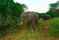 African elephants, Tarangire National Park, Tanzania