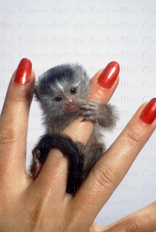 Miniature Marmoset monkey at the Kilverstone Wildlife Park.
