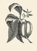 Custard Apple Annona [Custard apple is a common name for a fruit, and the tree which bears it, Annona reticulata]. Copperplate engraving From the Encyclopaedia Londinensis or, Universal dictionary of arts, sciences, and literature; Volume I;  Edited by Wilkes, John. Published in London in 1810