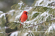 01530-23003 Northern Cardinal (Cardinalis cardinalis) male in pine tree in winter snow Marion Co. IL