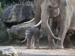 A female Asian elephant calf, as yet unnamed, which was born at Chester Zoo last night with her father Aung Bo.