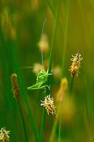 DRAGONFLY Coenagrion scitulum, Campanarios de Azaba Biological Reserve, Salamanca, Castilla y Leon, Spain, Europe