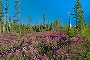 Bog laurel and spruce trees (Kalmia polifolia)<br /> Miramichi<br /> New Brunswick<br /> Canada