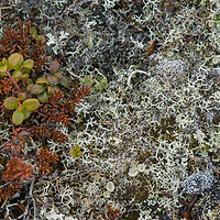 """Much of the Russian Arctic tundra is comprised of mosses, lichens and tiny lingonberry bushes. The appropriately-named white, multi-branched """"reindeer lichen,"""" (shown here) is a staple for its namesake and is sometime mistakenly called """"reindeer moss,"""""""
