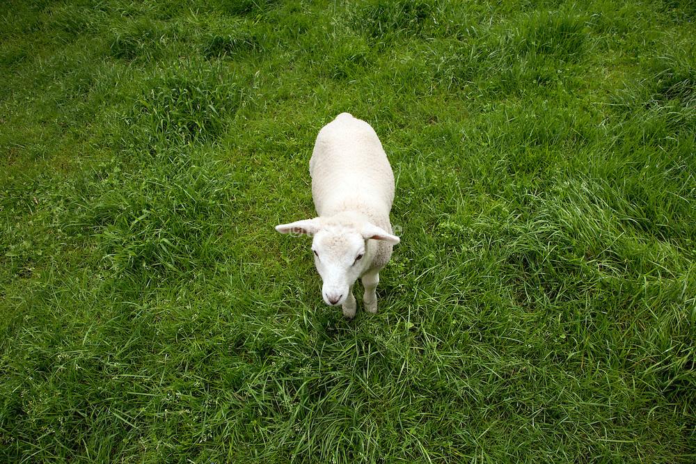 a little lamb standing in a fresh grass field