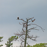 Bald Eagles (Haliaeetus leucocephalis) perch in a dead Eastern White Pine by Lake of the Woods, Ontario, Canada.