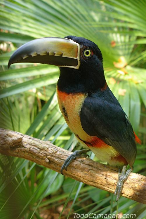 aracari bird toucan