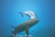 JoJo, a wild sociable bottlenose dolphin, Tursiops truncatus, or ambassador dolphin, harasses a nurse shark, Ginglymostoma cirratum, Providenciales, Turks and Caicos Islands ( Western Atlantic Ocean )