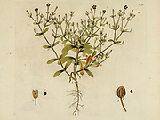 hand painted Botanical illustration of flower details leafs and plant from Collectaneorum Supplementum by Nicolai Josephi Jacquin Published 1796. Figure 14