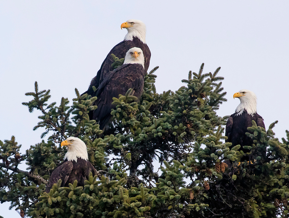 Alaska. Bald Eagles (Haliaeetus leucocephalus) tolerating other adults in the winter when food is scarcer and feeding opportunities draw a crowd, Kachemak Bay.