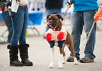 "Lennox Lewis the ""boxer"" is dressed and ready to go with his owner Vinnie Raso for Saturday's Bow Wow Fest at Opechee Inn and Spa.  (Karen Bobotas/for the Laconia Daily Sun)"