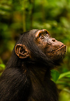 "Chimpanzees, Kibale Forest National Park, Uganda.            Known as ""The Primate Capital of the World"" Kibale has the largest number of primates of any national park in the world."
