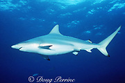 blacktip shark, pregnant female, Carcharhinus limbatus, Walker's Cay, Abaco Islands, Bahamas ( Western Atlantic Ocean )