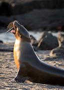 Galapagos Sea Lion (Zalophus wollebaeki) sunning on beach, Punta Espinosa, Fernandina Island, Galapagos Islands