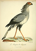 MANGEUR DE SERPENS or secretarybird or secretary bird (Sagittarius serpentarius) is a large, mostly terrestrial bird of prey. Endemic to Africa, it is usually found in the open grasslands and savanna of the sub-Saharan region. from the Book Histoire naturelle des oiseaux d'Afrique [Natural History of birds of Africa] by Le Vaillant, François, 1753-1824; Publish in Paris by Chez J.J. Fuchs, libraire .1799