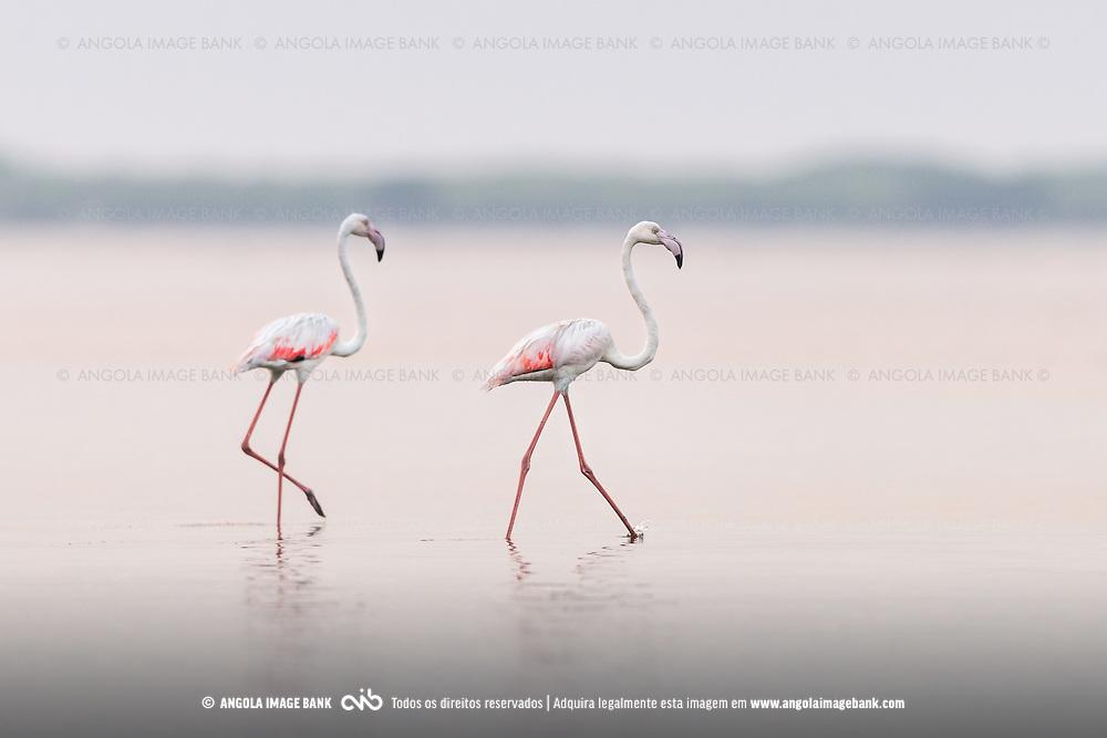 Flamingos (Phoenicopterus ruber) nas salinas do Mussulo. Província de Luanda, Angola