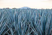 A field of blue agave plants growing at a farm owned by the Casa Siete Leguas tequila distillery outside Atotonilco de Alto, Jalisco, Mexico. The Seven Leagues tequila distillery is one of the oldest family owned distilleries and produces handcrafted tequila using traditional methods.