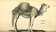 Arabian Camel from General zoology, or, Systematic natural history Vol II Part 2 Mammalia, by Shaw, George, 1751-1813; Stephens, James Francis, 1792-1853; Heath, Charles, 1785-1848, engraver; Griffith, Mrs., engraver; Chappelow. Copperplate Printed in London in 1801 by G. Kearsley
