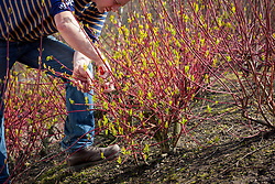 Pruning a cornus (dogwood) in early spring  to encourage bright red new stem growth