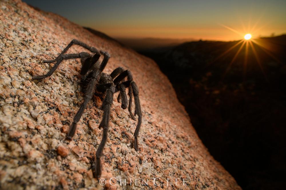 California Ebony Tarantula (Aphonopelma eutylenum), male. California, USA.