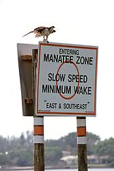 Manatee Sign & Osprey Sitting On It