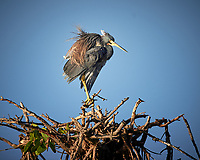 Tricolored Heron. Biolab Road, Merritt Island National Wildlife Refuge. Image taken with a Nikon D4 camera and 600 mm f/4 VR lens (ISO 110, 600 mm, f/4, 1/1250 sec).