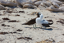 An adult Brown Booby (Sula leucogaster) feeds a chick on the Lacepede Islands to the northwest of Broome.