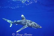 oceanic whitetip shark, Carcharhinus longimanus, Endangered Species, Kona, Hawaii ( the Big Island ), USA ( Central Pacific Ocean )