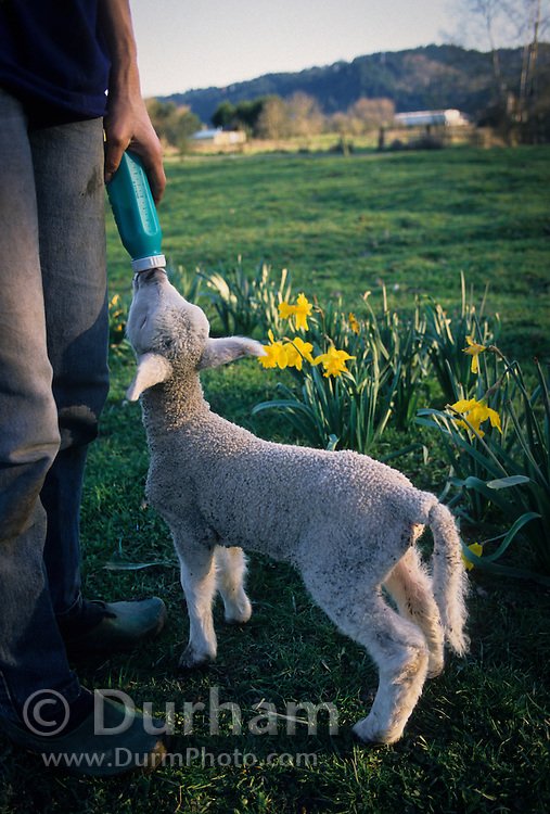 An orphaned domestic sheep lamb (Ovis aries) being bottle fed on a farm. Sauvie Island, Oregon.