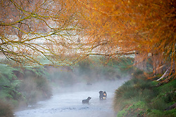 © Licensed to London News Pictures. 20/11/2020. London, UK. Dogs enjoy a frosty morning in a misty stream in Richmond Park, South West London as temperatures dropped bellow -1c last night for the South East of England. However, the weekend will become milder with some rain and light winds. Photo credit: Alex Lentati/LNP