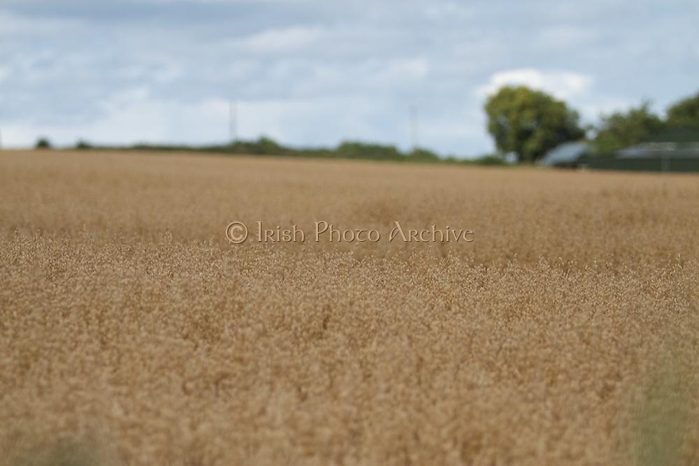 oat, crop, harvest, arable, farming, field, porridge, ripe,