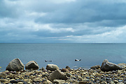 Grey seal, Halichoerus grypus, Common Seals near rock boulders at Sannox Bay in the North Atlantic Ocean by the Isle of Arran, Scotland
