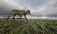 A female coastal grey wolf traverses a section of mudflat during a morning patrol of her territory on the west coast of Vancouver Island, British Columbia. This wolf is now dead. She was shot by a resident from the nearby town who claimed he was protecting the town's pets. If we are lucky enough to live in wild places then we must accept that this privilege comes with the responsibility to live alongside our wild residents. Sadly, there were no consequences to this shooting. Had it been a lion, or a tiger, or even a grizzly bear, there would have been mass outrage. Because it was a wolf, nothing happened. I hope that this image helps people fall in love with coastal wolves so that this horrible situation is not repeated. <br />