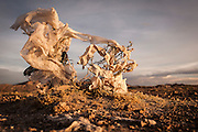 08/11/2014 - Uyuni, Bolivia:Plastic tree #47. Plastic bags are part of the landscape of the Bolivian Altiplano. The accumulation of plastic bags on the environment cause deterioration of the landscapes and agriculture soils and it is associated to the death of domestic and wild animals.
