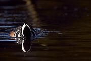 Hooded Merganser drake (Lophodytes cucullatus) foraging.
