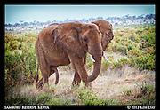 Male Elephant<br /> Samburu National Reserve, Kenya<br /> September 2012