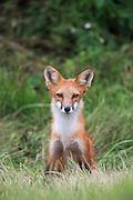 Male Red Fox in Habitat