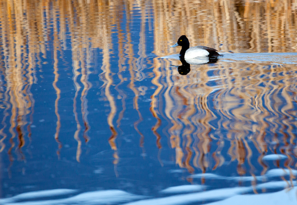 A lesser scaup swims through a beautiful reflection at Bosque del Apache Wildlife Refuge.
