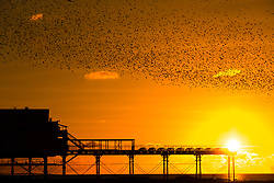 © Licensed to London News Pictures.<br /> Aberystwyth, UK. 28/10/2018. As the sun sets on clear and sunny October day, after the clocks have gone back,  tens of thousands of tiny starlings perform elegant and entrancing aerial balletic 'murmurations' in the sky above Aberystwyth's silhouetted  pier , before swooping down to roost for the night on the forest  of cast iron legs underneath the town's Victorian seaside attraction. Aberystwyth is one of the few urban roosts in the country and draws people from all over the UK to witness the spectacular nightly displays. Photo credit: Keith Morris / LNP